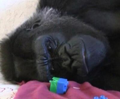 Gorile terapi!..