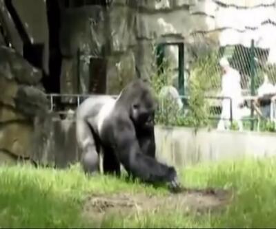 Gorili kızdırırsan böyle olur