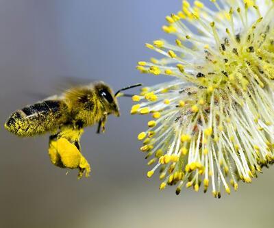 Arı, 7 hafta yaşar bir çay kaşığı bal üretir