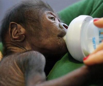 Anne goril sezaryenla doğurdu