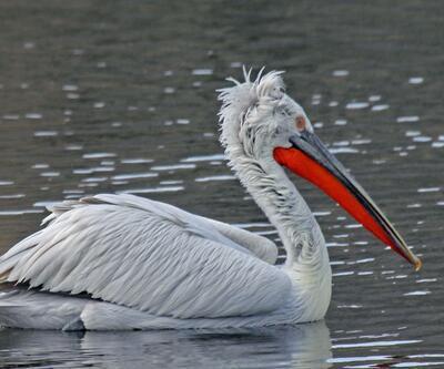 Tedavisi tamamlanan pelikanlar doğaya salındı
