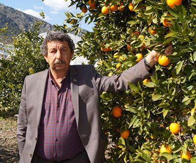 Finike portakalı dalında alıcı buluyor