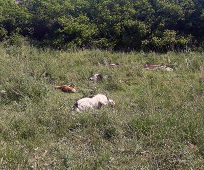 Köpeklere narkoz verip yol kenarına attılar