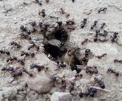 Karıncaların yiyecek telaşı tedirgin etti