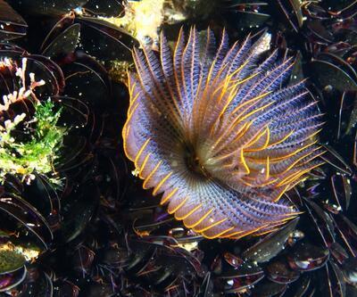 İzmir Körfezi'nde yeni bir tür bulundu