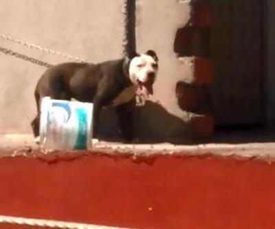 Çatıya bağlanan 'pitbull'un sıcakta zor anları
