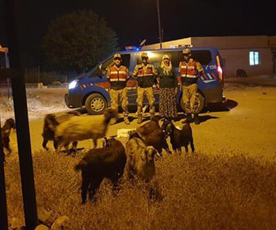 Ahırdan kaçan koyunlar jandarmaya yakalandı
