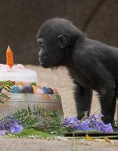 Goril Monroe 1 yaşında