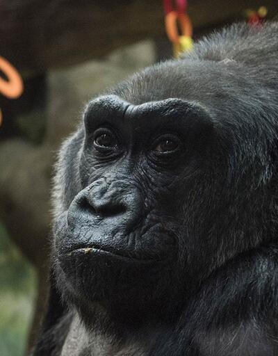 Dünyanın en yaşlı gorili Colo 60 yaşında öldü