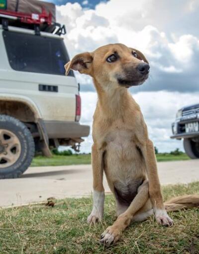 Felçli köpek ihtiyacı olan yardımı kendisi uğraşıp buldu