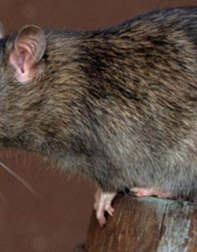 O şehri fareler bastı... Sayıları 50 milyonu aştı