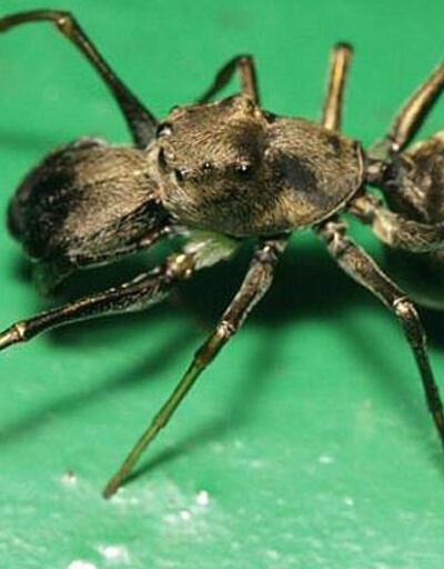 Çin'de yavrularını sütle besleyen örümcek türü bulundu