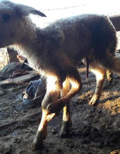 Buldan'da 5 ayaklı kuzu dünyaya geldi