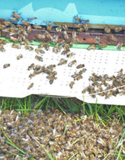 Bursa'da korkutan arı ölümleri