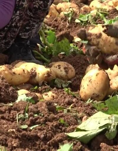Adana'da patates hasadı devam ediyor