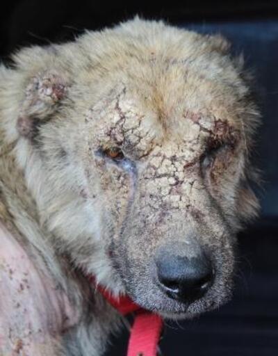 Hasta köpek, tedavi için İstanbul'a götürüldü