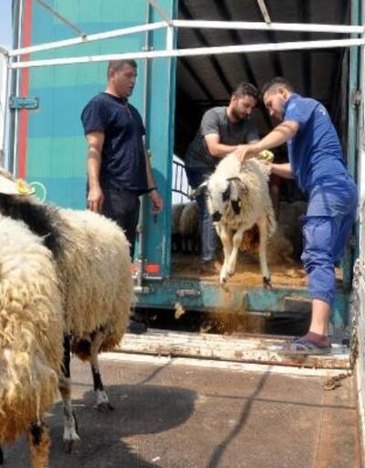 Osmaniye'de genç çiftçilere 374 koyun dağıtıldı