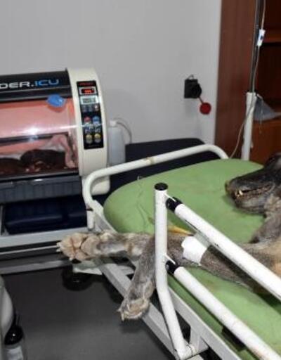 Kangal köpeği 'Haskız', sezaryenle doğum yaptı