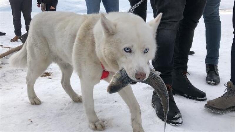 Alaska kurdunun ağzından balığı alma mücadelesi