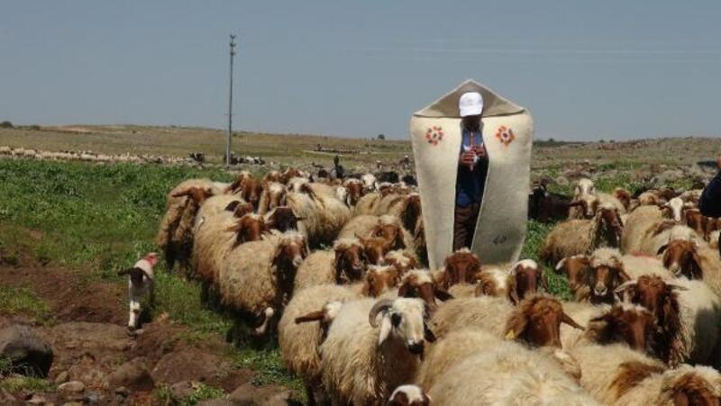 Koyunlar, kaval çalınarak meraya salındı