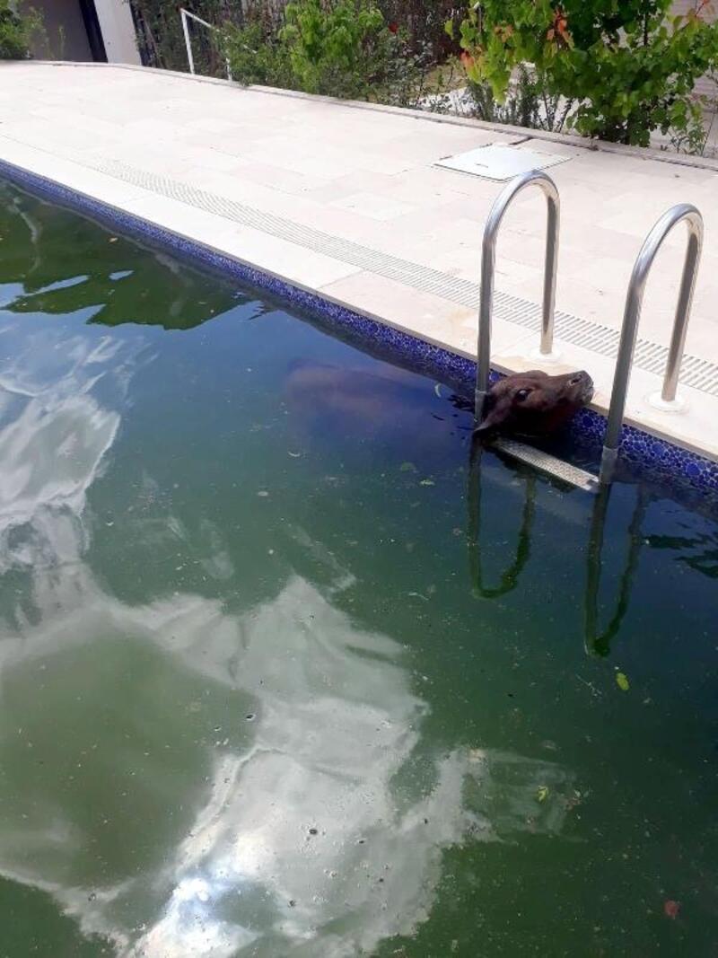 Havuza düşen buzağıyı itfaiye kurtardı