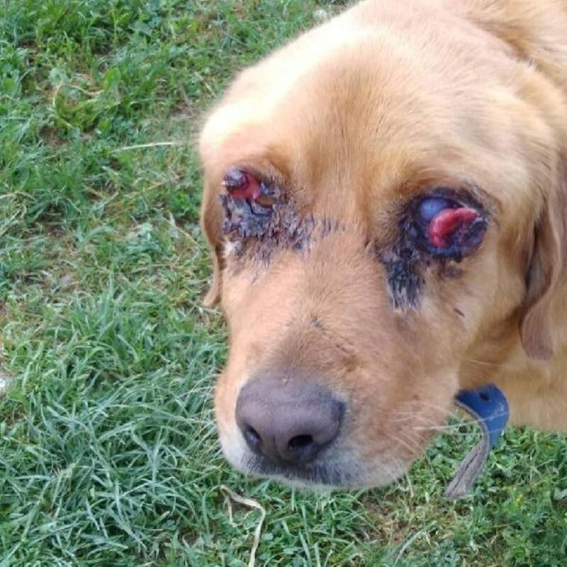 Tokat'ta köpeğin gözleri oyuldu