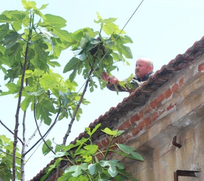 Caddedeki incir ağacına arılar oğul verdi
