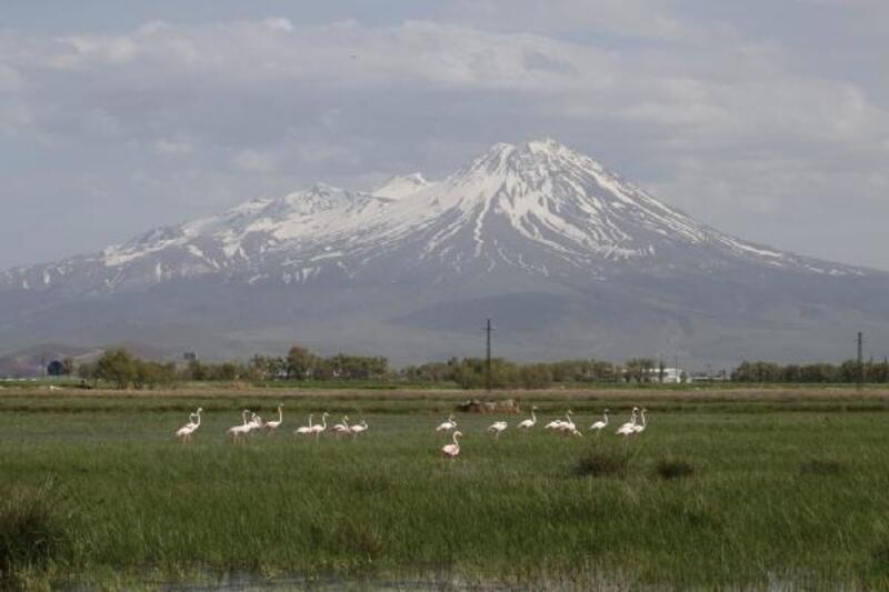 Göç yolundaki flamingolar, sazlıkta kuluçkaya yattı