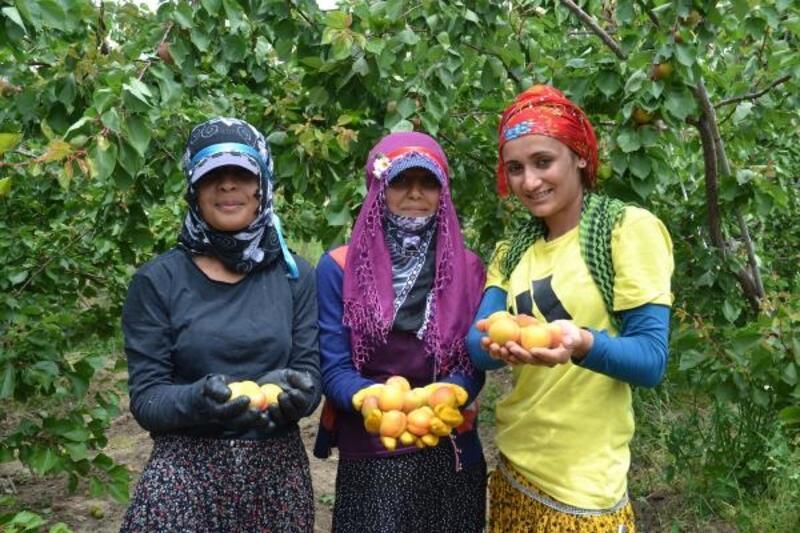 Türkiye'de en erken yetişen kayısının hasadı başladı