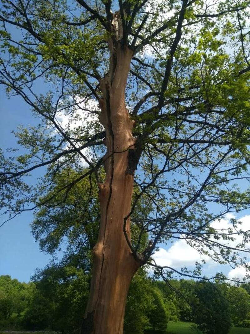Bursa'da yıldırım düşen ağaç ikiye bölündü
