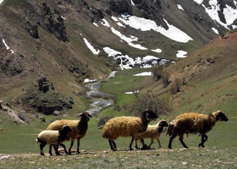 Uzun ve zorlu kışın ardından koyunlar merada
