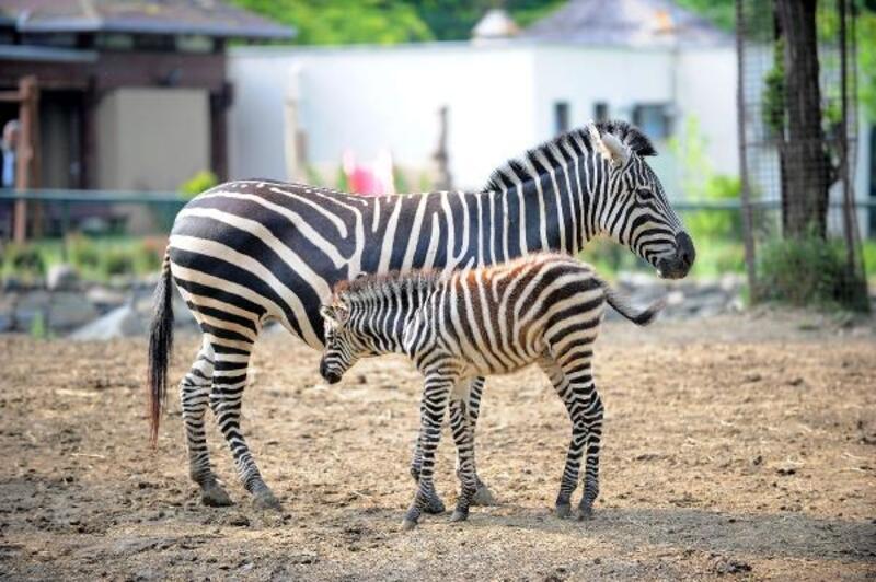 Zebra ailesine 3 yeni üye
