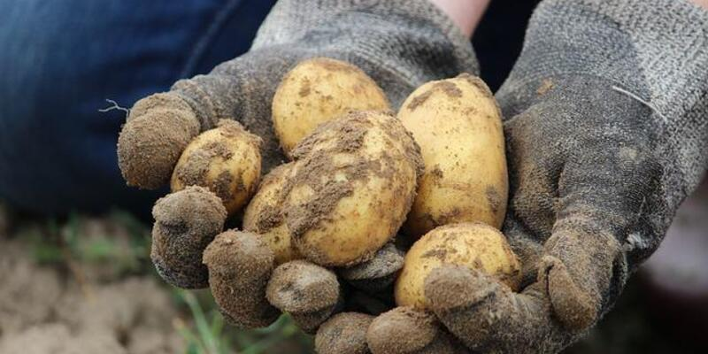 Filizlenen patates öldürebilir