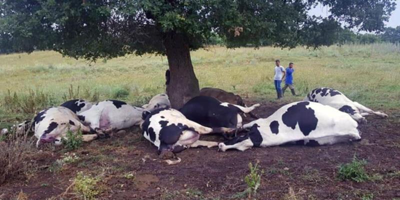 Yıldırım isabet eden ağacın altındaki 8'i gebe 10 inek öldü