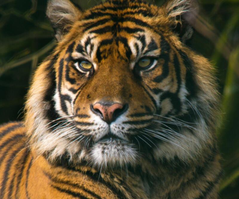 Nesli tükenmekte olan Sumatra kaplanı ölü bulundu