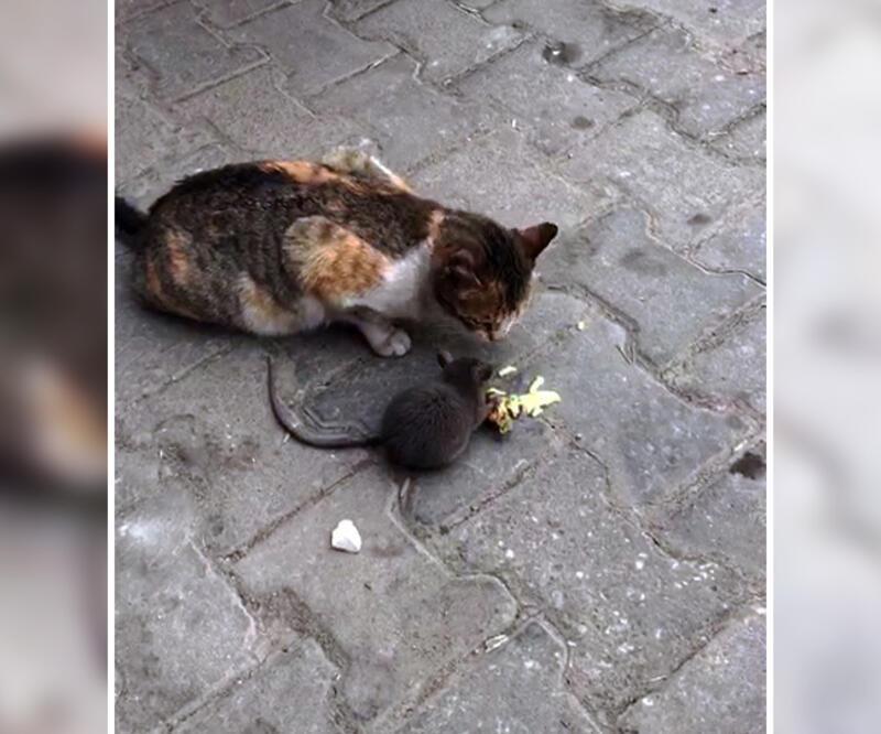 Denizli'de eşine ender rastlanan kedi-fare dostluğu